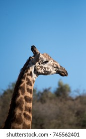 Giraffe and blue sky in Nairobi National Park in Kenya