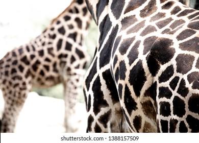 The Giraffe bodyes pattern, background