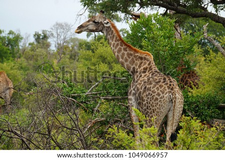 Giraffe in brush at Kruger National Park in South Africa