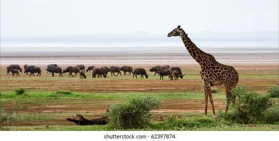 Giraffe and buffalos. The giraffe costs against grazed herd of buffalo s.