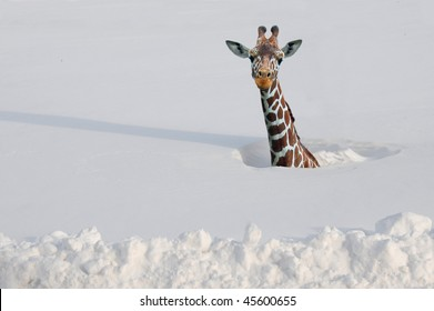 Giraffe buried in snow