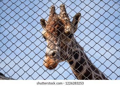 giraffe in a cage