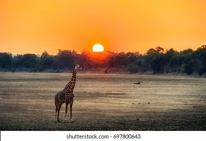 Giraffe calf at sunset in Africa