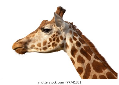 Giraffe Camelopardalis Head Shot Profile Close Up Isolated