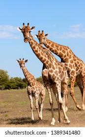 Giraffe (Giraffe camelopardalis), Kgalagadi Transfrontier Park, South Africa.
