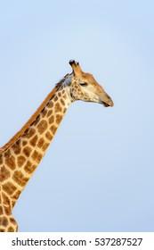Giraffe (Giraffe camelopardalis) portrait, Kruger National Park, South Africa