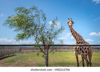 giraffe in captivity in a south african zoo