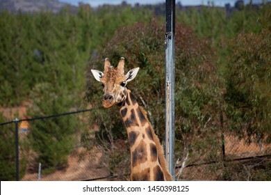 Giraffe in captivity, in zoo enclosure in Canberra, Australia. Green bushes, trees and metal post behind.