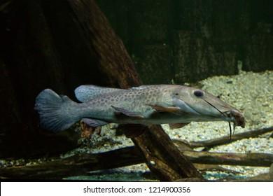 Giraffe catfish (Auchenoglanis occidentalis).