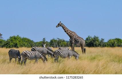 Giraffe in Chobe Park