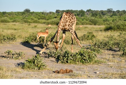 Giraffe in Chobe Savuti Area