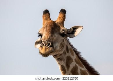 Giraffe close
