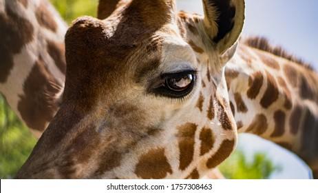 Giraffe close up eyes isolated
