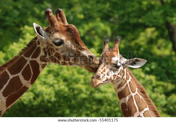 La girafe en gros plan (Giraffa camelopardalis) est un mammifère ongulé d'origine africaine, le plus grand de toutes les espèces d'animaux terrestres et le plus grand ruminant.
