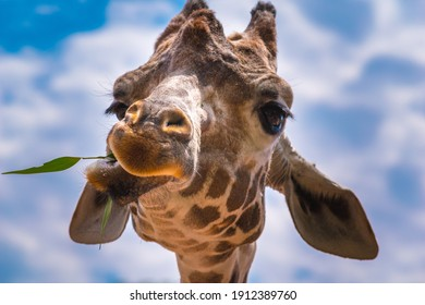 Giraffe Close up portrait eating grass