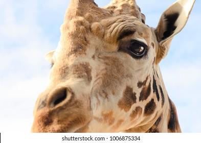giraffe close-up eye detail watching