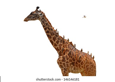A giraffe covered in birds (oxpeckers) that are gleaning it - isolated