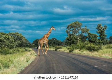 Giraffe crossing the road, Kruger National Park, South Africa.
