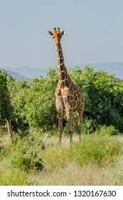 Giraffe crossing the trail in Samburu Park in central Kenya