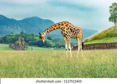 Giraffe crouching his head