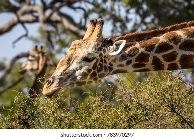 Giraffe delicately eating leaves from a thorny bush, with trees and another giraffe in the background, Botswana, Africa