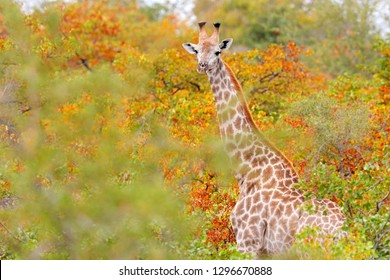 Giraffe detail in the orange autumn forest. Green and red vegetation with big animals. Wildlife scene from nature. Evening light in the wood, Kruger National Park, Africa. Giraffe in the habitat