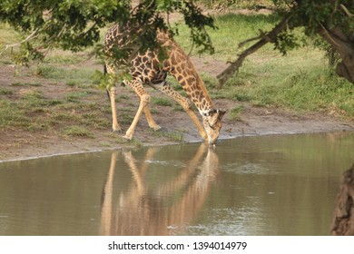 A giraffe drinking from a water hole
