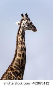 A giraffe in East Africa  Tanzania