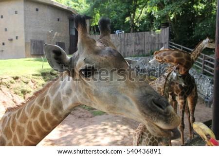 Giraffe Eat Banana Zoo Stock Photo Edit Now 540436891 Shutterstock