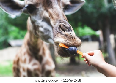 Giraffe eating carrot from tourist's hand in the zoo