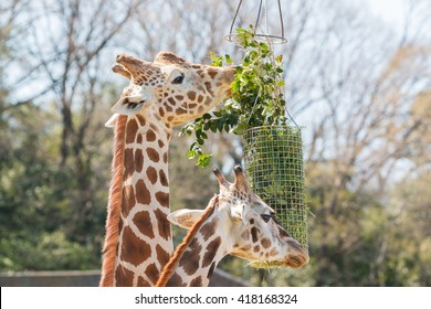 Giraffe eating grass and green leaf in basket.