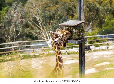 giraffe eating hey from a box on a high pole