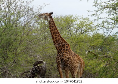 Giraffe eating at Kruger National Park in South Africa