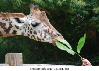 Giraffe eating a leaf out of a woman or man his or her hand close up. a giraffe is  from the Artiodactyla family from the chordata tribe