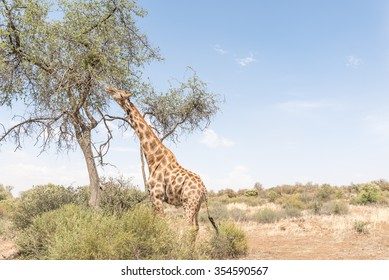 A Giraffe eating leafs in the Franklin Nature Reserve on Naval Hill in Bloemfontein, South Africa