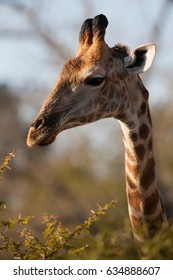 Giraffe eating leaves, Kruger National Park, South Africa