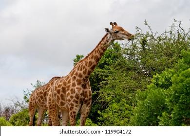 Giraffe eating leaves from tree top at Hluhluwe-iMfolozi Game Reserve, KwaZulu Natal South Africa