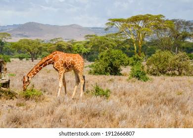 Giraffe eating in the Sun