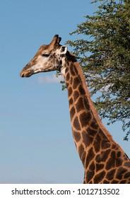 Giraffe eating and wondering under African sky's