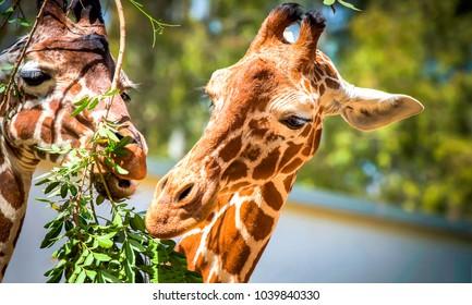 Giraffe eats leaves in zoo