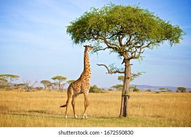 Giraffe Eatting Acacia Tree Leafs In Grumeti In Tanzania