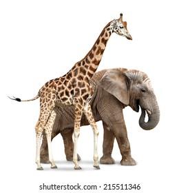 giraffe with elephant isolated on white