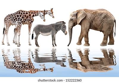 giraffe, elephant and zebra isolated on white