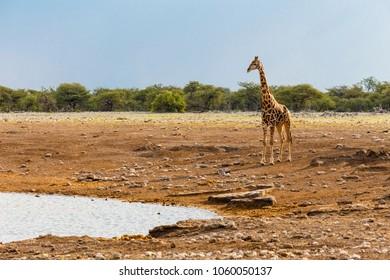Giraffe, Etosha National Park, Namibia