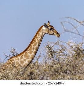 Giraffe in Etosha National Park - Namibia, South-Western Africa