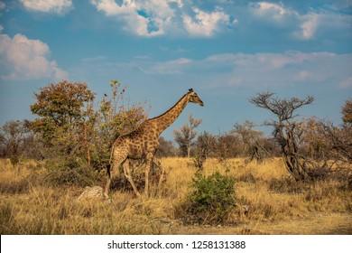 Giraffe in Etosha Park, Namibia