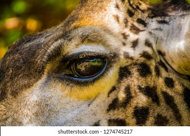 Giraffe eye close up