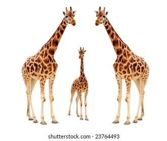 Giraffe family isolated