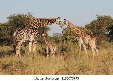Giraffe Family, Okavango Delta, Botswana
