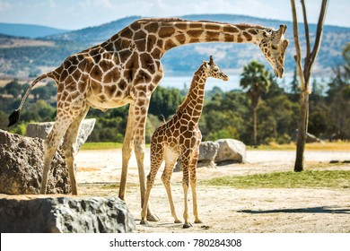 Giraffe family on a walk